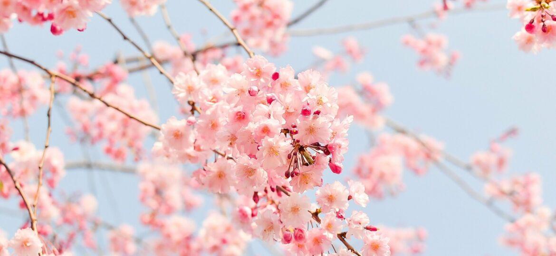 cherry-blossom-tree-1225186_1920